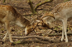 [Free Images] Animals (Mammals), Mammals, Deers, Fight / Battle / Brawling ID:201211241000
