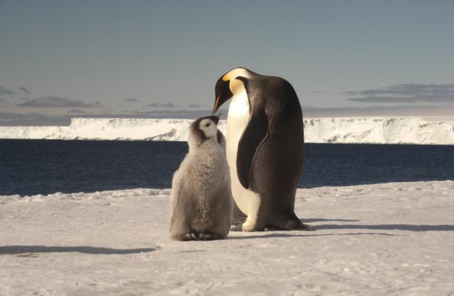 Adult Emperor Penguin Feeding Her Chick By Ty Hurley, Rampton, Cambridge UK