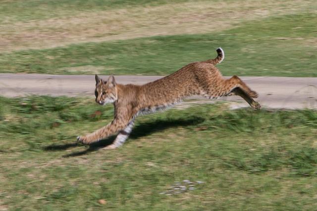 West Dallas Bobcat
