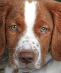 kooikerhondje(0.0), king charles spaniel(0.0), english springer spaniel(0.0), dog breed(1.0), nose(1.0), animal(1.0), dog(1.0), welsh springer spaniel(1.0), american foxhound(1.0), pet(1.0), drentse patrijshond(1.0), brittany(1.0), spaniel(1.0), carnivoran(1.0),