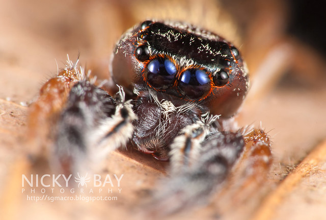 Jumping Spider (Salticidae) - DSC_9362