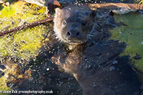 Otter at Bosherton Lily Ponds
