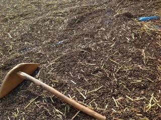 蕎麦刈り  豊作です。