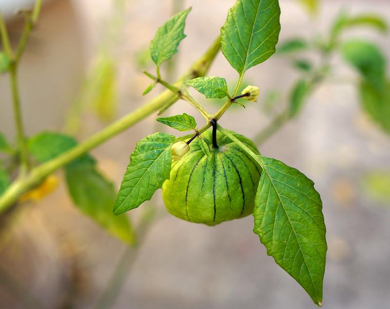 Tomatillo201301
