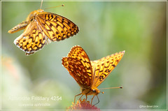 Aphrodite and Atlantis Fritillary Colorado butterfly photography by Ron Birrell; DSC_4254