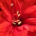 heart of amaryllis by franbanks1 -( another day balder ) colin banks