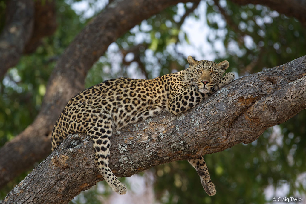 A leopard resting in a tree in South Africa