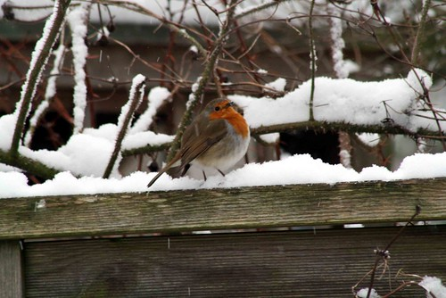 The robins are always happy to pose!