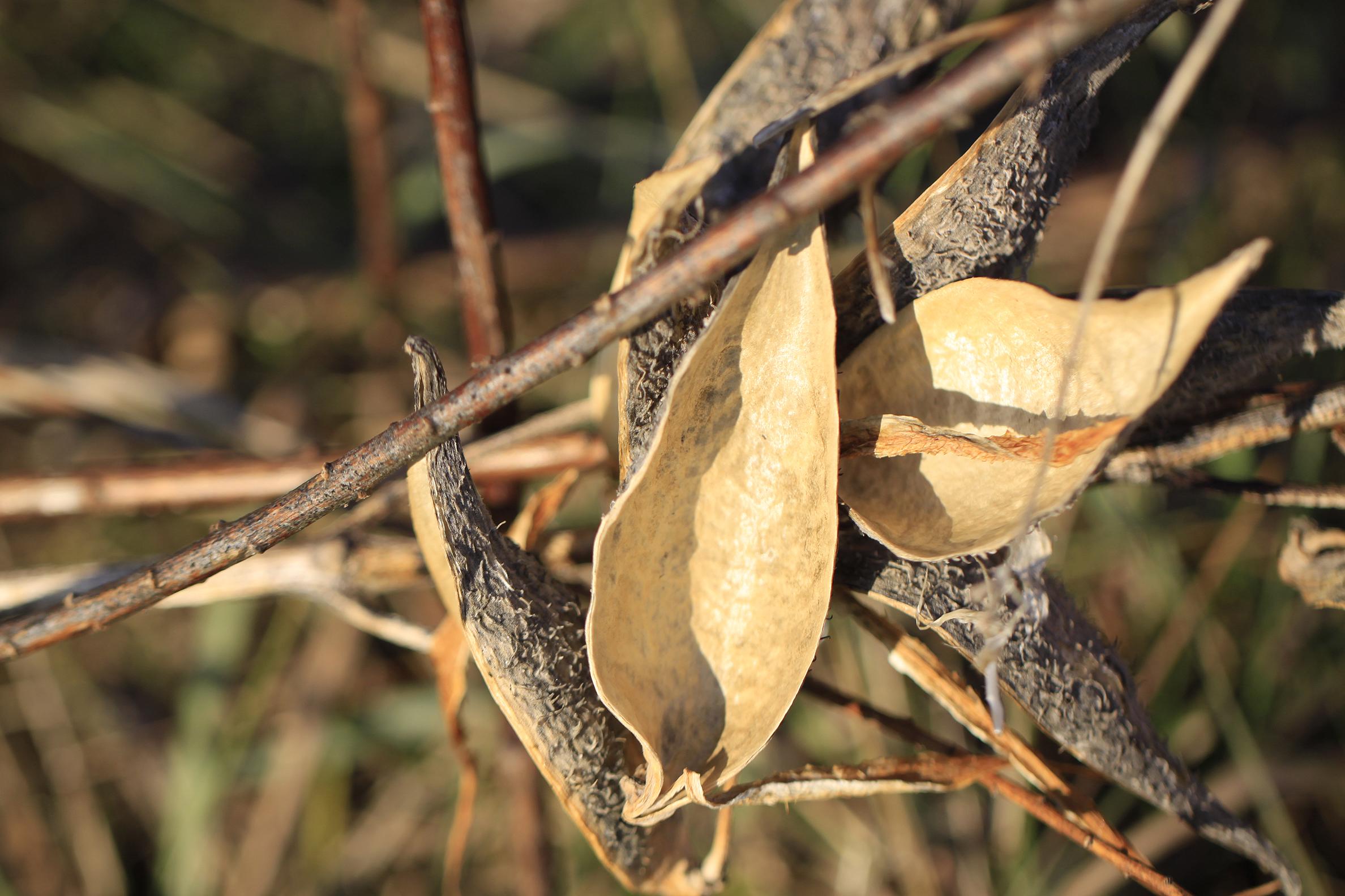 milkweed pods empty