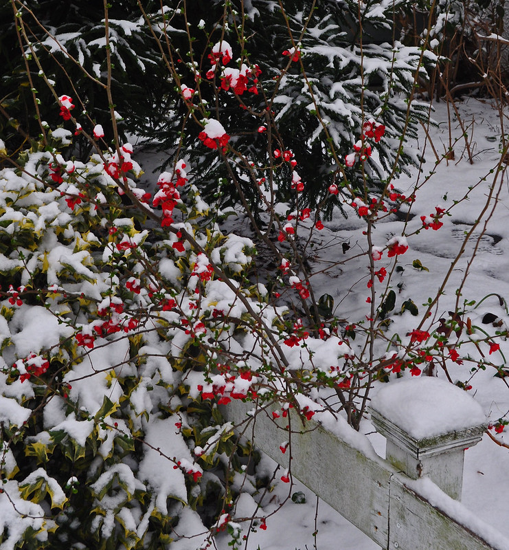 Chaenomeles in Snow (2)