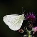Small White Butterfly by Lutra56