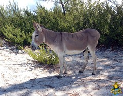 Half Moon Cay, Bahamas: A donkey on the beach