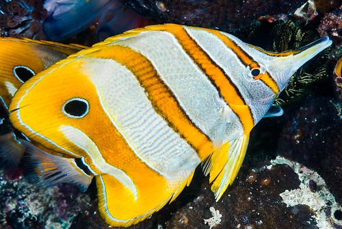 Beaked Coralfish - Chelmon rostratus