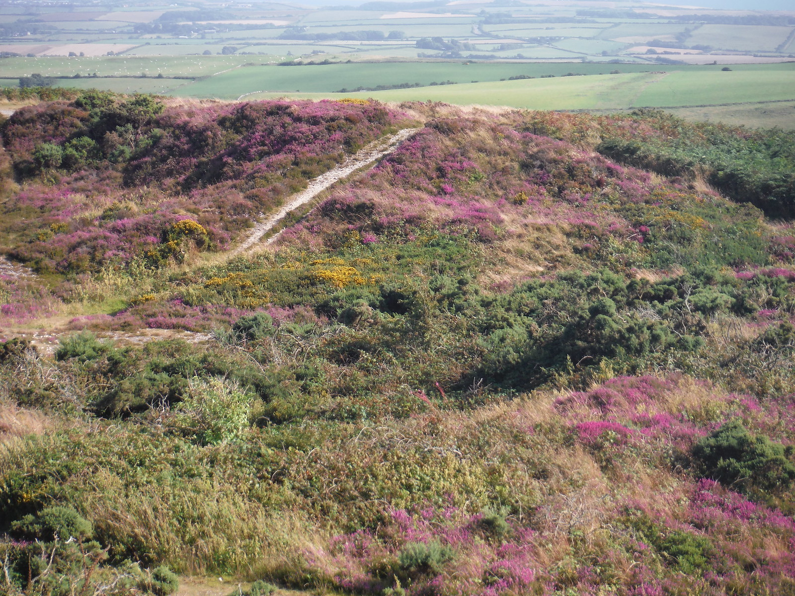 Heather on Black Down SWC Walk 274 Dorchester South Circular or to Portesham