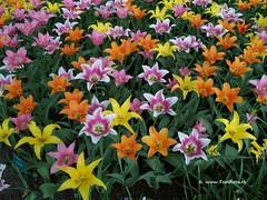 Dutch Tulips, Keukenhof Gardens, Holland - 0756 POTD