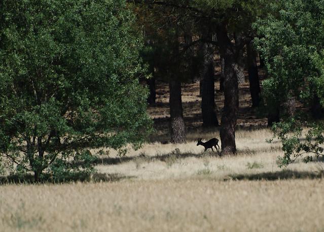 Roe deer in La Tierra del Pinares, Segovia