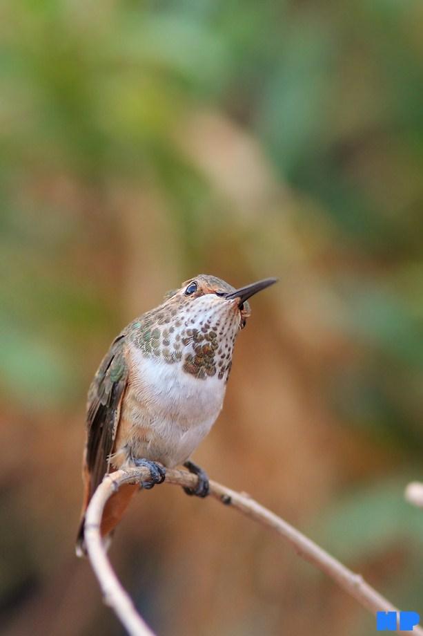 Allen's Hummingbird 101112-4