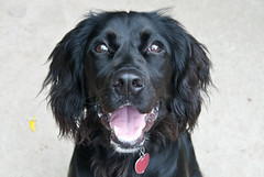 newfoundland(0.0), dog breed(1.0), animal(1.0), dog(1.0), boykin spaniel(1.0), large mã¼nsterlã¤nder(1.0), pet(1.0), stabyhoun(1.0), small mã¼nsterlã¤nder(1.0), field spaniel(1.0), blue picardy spaniel(1.0), retriever(1.0), flat-coated retriever(1.0), carnivoran(1.0), black(1.0),