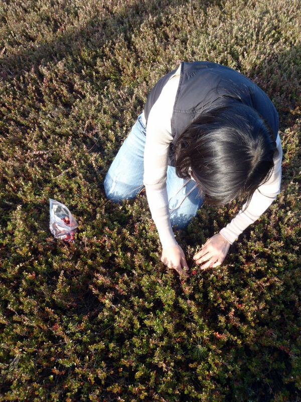 Handpicking cranberries