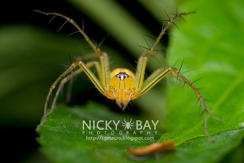 Lynx Spider (Oxyopidae) - DSC_7365