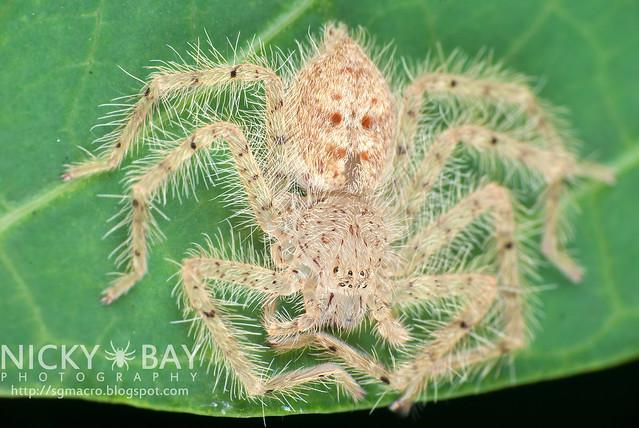 Huntsman Spider (Sparassidae) - DSC_5776