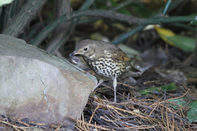 Song Thrush, Robert's Park