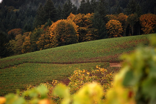 Grapes coming in and colors changing in the Dundee Hills by cles22