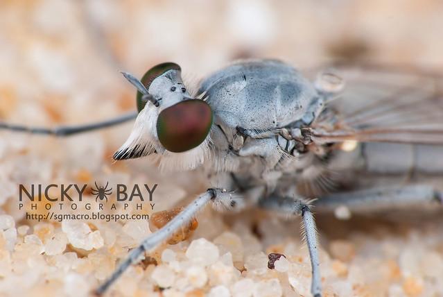 Robberfly (Asilidae) - DSC_3027