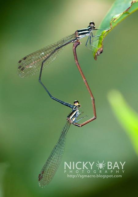 Damselflies (Zygoptera) - DSC_2181