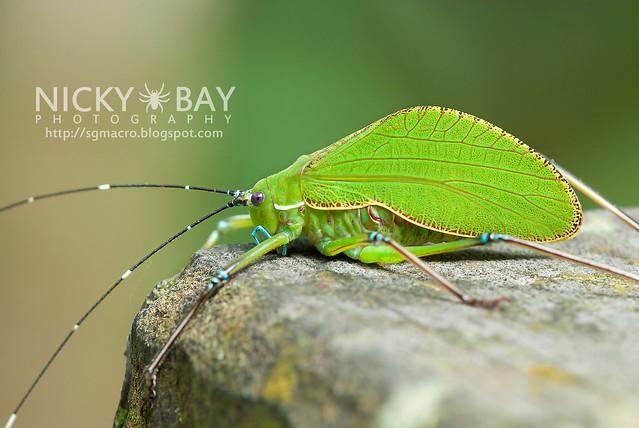 Katydid (Tettigoniidae) - DSC_2160