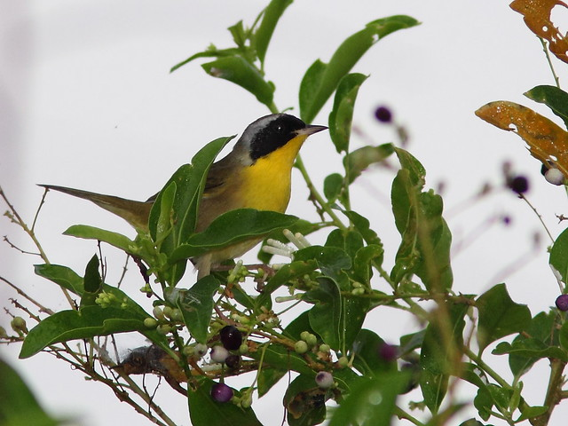 Common Yellowthroat 2-20121020