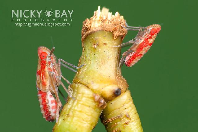 Planthoppers (Fulgoromorpha) - DSC_1322