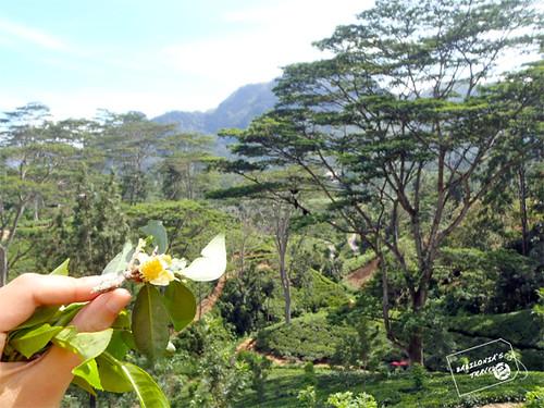 campo de te y flor de sri lanka