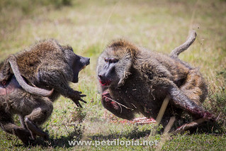 Savanna Baboons fighting (Papio cyanocephalus)
