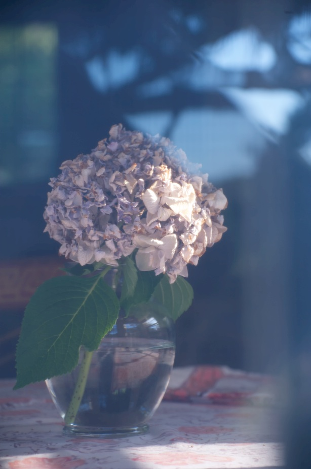 hydrangea in window