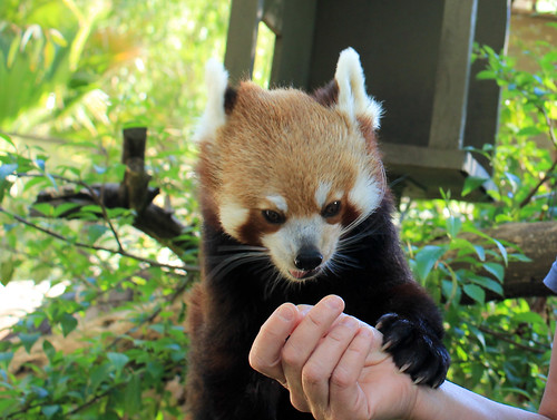 Tenzin, the red panda