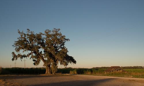 sunset tree louisiana liveoak spanishmoss sugarcane sugarcanefield assumptionparish