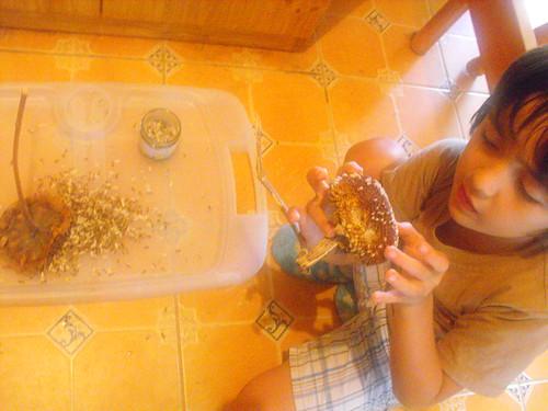 Recolectando semillas de girasol