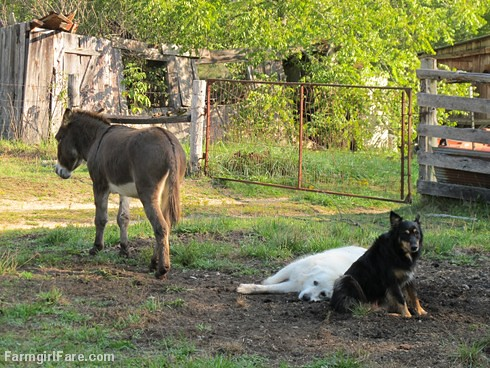 Daisy on donkey guard dog duty (14) - FarmgirlFare.com