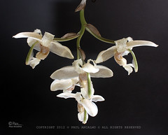 Stanhopea florida Rchb. f. 1879