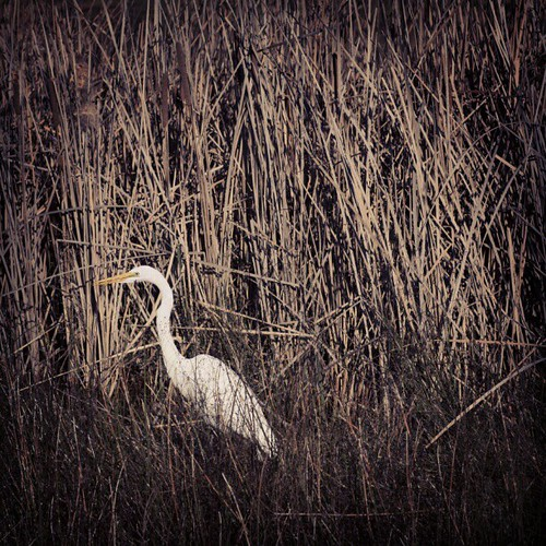 Canon 5D Mark II - edit w/ Instagram, #sutro #crane #heron #greatwhiteheron #egret #birds #wildlife #nature