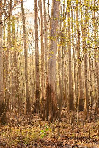 southcarolina swamp cypress congaree cypressknees congareenationalpark t2i boardwalktrail canonef40mmf28stm