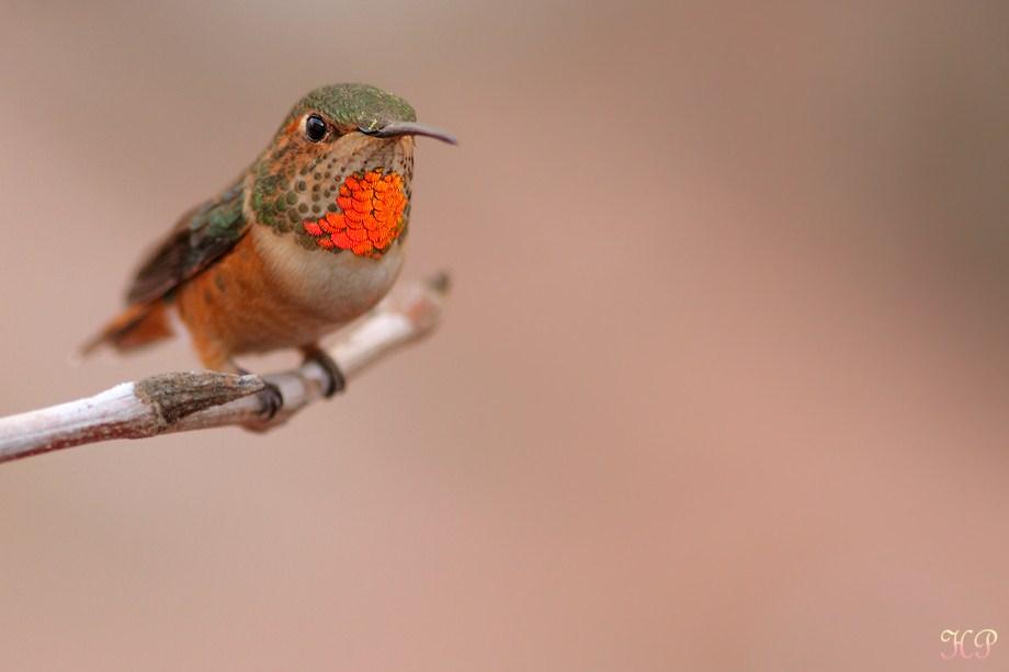 Allen's Hummingbird 010613-6