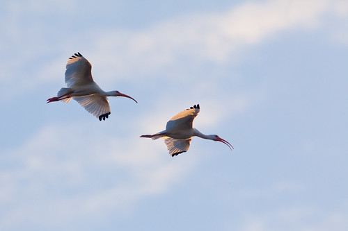 Two Ibises Flying in to Rookery Island by ramislevy