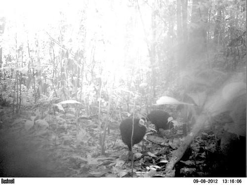 black guinea fowl