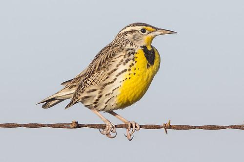 birds riovista solanocounty westernmeadowlark robinsonroad
