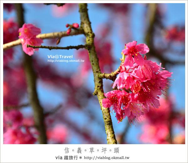【信義櫻花】信義草坪頭櫻花~上千株櫻花的山中夢幻粉紅小鎮!