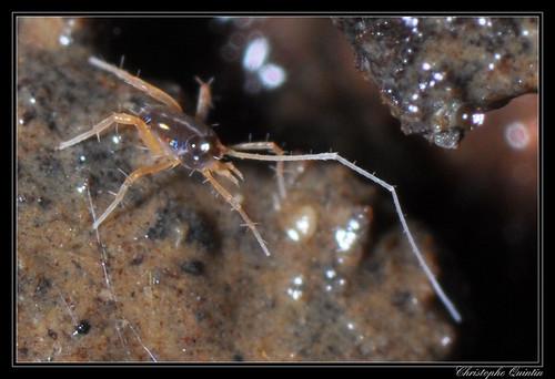 Acarien Eupodidae (Linopodes motatorius ?)