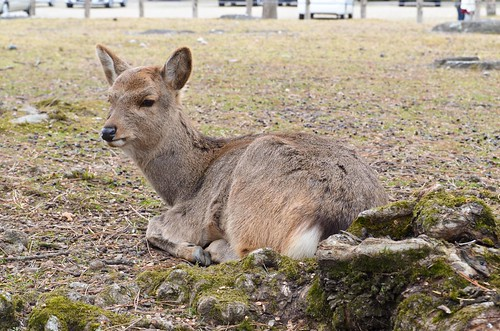 Relaxing Nara Deer