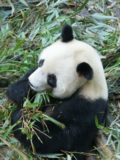 Lunch time for this Panda